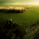 herd, shepherd, greenery, wolf, animals wallpaper