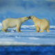 bears, polar bear, winter, snow, couple, animals wallpaper