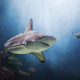 shark, underwater, predator, fish wallpaper