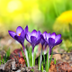 flowers, crocus, macro, close up, nature wallpaper