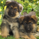 dog, puppy, animals, cute puppies, german shepherd wallpaper