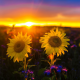 nature, landscape, field, sunflowers, sunset, flowers wallpaper