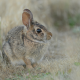 european hare, dry grass, hare, brown hare, animals wallpaper