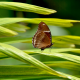 hypolimnus bolina, vietnam, grass, macro, lunar butterfly, insect wallpaper