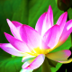 petals, lotus, nature, leaves, flowers wallpaper
