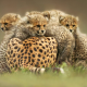 animals, cheetah, kittens, wild cats wallpaper