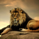 lion, predator, king of beasts, animals wallpaper