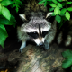 raccoon, animals, forest, leaves, wildlife wallpaper