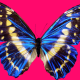 blue butterfly, purple background, wings, butterfly wallpaper