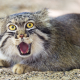manul, pallass cat, wild cats, animals wallpaper
