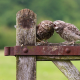 owl chick, owl, birds, animals, fence wallpaper