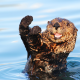 water, otter, paws, animals wallpaper