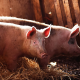pigs, animals wallpaper