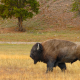 bison, grass, animals, american bison wallpaper