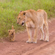 lion cub, lioness, wild cats, animals wallpaper