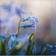 spring, macro, blue flowers, flowers, nature wallpaper