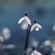 snowdrops, flowers, macro wallpaper