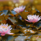 pond, leaves, water lilies, flowers, frog, nature, bokeh wallpaper