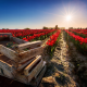 flowers, tulips, box, sun, plantation, nature wallpaper