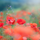 poppy, nature, summer, flowers, fiels, poppies wallpaper