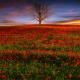 nature, field, poppies, tree, evening, sunset, poppy wallpaper