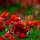 poppies, flowers, summer, poppy, nature wallpaper
