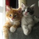 friends, maine coon, kittens, cat, animals wallpaper