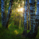 forest, birch, thicket, sun rays, sunset, nature, forest, tree wallpaper