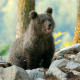 animals, predator, bear cub, cub, stones, bear wallpaper