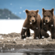 bear, bear cubs, animals, river bank, brown bear wallpaper