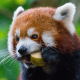 red panda, animals, cute wallpaper