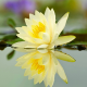 lotus, lake, water, reflection, flowers, water lilly, nature wallpaper