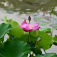 lotus, pink lotus, leaves, pond, flowers, nature wallpaper