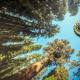 nature, trees, forest, leaves, hot air balloons, pine trees, sky, depth of field, air balloon, ballo wallpaper