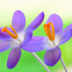 crocuses, flowers, nature, petals, crocus wallpaper