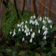 snowdrops, spring, flowers, nature wallpaper