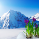 nature, landscape, spring, mountains, snow, flowers, crocuses, saffron wallpaper