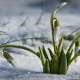 snow, spring, snowdrops, flowers, hoarfrost, nature wallpaper