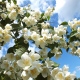 nature, summer, branches, bush, bloom, jasmine, flowers wallpaper