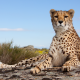 cheetah, paws, animals, wild cat wallpaper