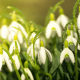 spring, flowers, primroses, snowdrops, water drops, macro, nature wallpaper