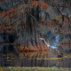 nature, tree, swamp, bird, heron, takeoff, mangroves wallpaper