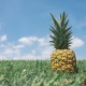 pineapples, grass, fruit, food wallpaper
