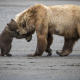 animals, bear, bear cub, cub, brown bear wallpaper