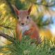 animals, rodent, squirrel, branches, pine, needles wallpaper