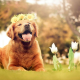 dog, animals, nature, tulips, flowers, open mouth, golden retrievers wallpaper