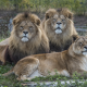 lion, animals, lioness wallpaper
