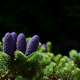nature, branches, needles, spruce, fir, cones wallpaper