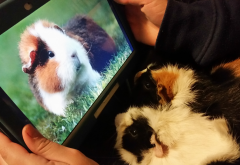 guinea pigs, rodent, cute animals, animals wallpaper