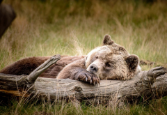 animals, bears, log, sleeping wallpaper